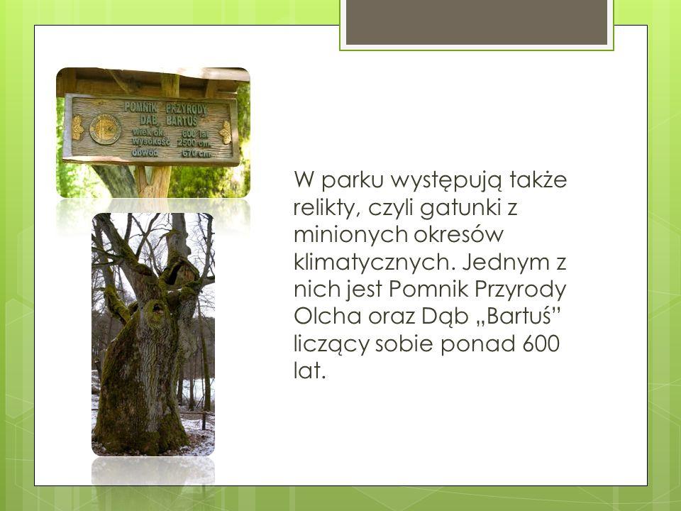 """W parku występują także relikty, czyli gatunki z minionych okresów klimatycznych. Jednym z nich jest Pomnik Przyrody Olcha oraz Dąb """"Bartuś"""" liczący s"""