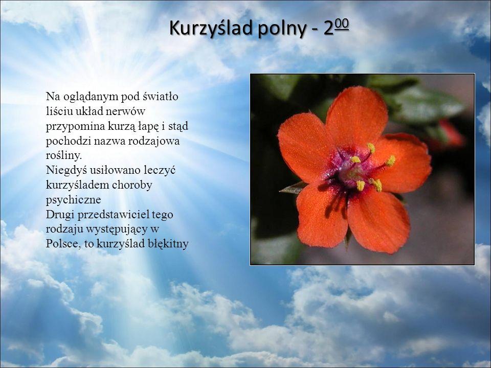 Kurzyślad polny - 2 00 Kurzyślad polny - 2 00 Na oglądanym pod światło liściu układ nerwów przypomina kurzą łapę i stąd pochodzi nazwa rodzajowa rośliny.