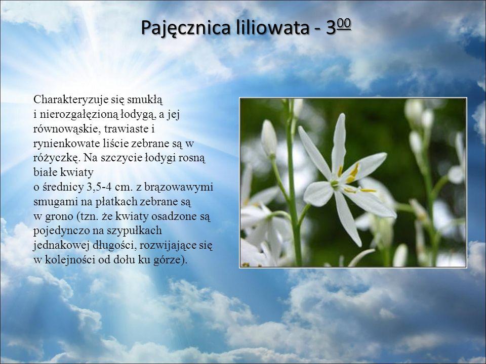 Pajęcznica liliowata - 3 00 Charakteryzuje się smukłą i nierozgałęzioną łodygą, a jej równowąskie, trawiaste i rynienkowate liście zebrane są w różyczkę.
