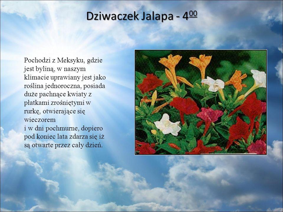 Dziwaczek Jalapa - 4 00 Dziwaczek Jalapa - 4 00 Pochodzi z Meksyku, gdzie jest byliną, w naszym klimacie uprawiany jest jako roślina jednoroczna, posiada duże pachnące kwiaty z płatkami zrośniętymi w rurkę, otwierające się wieczorem i w dni pochmurne, dopiero pod koniec lata zdarza się iż są otwarte przez cały dzień.