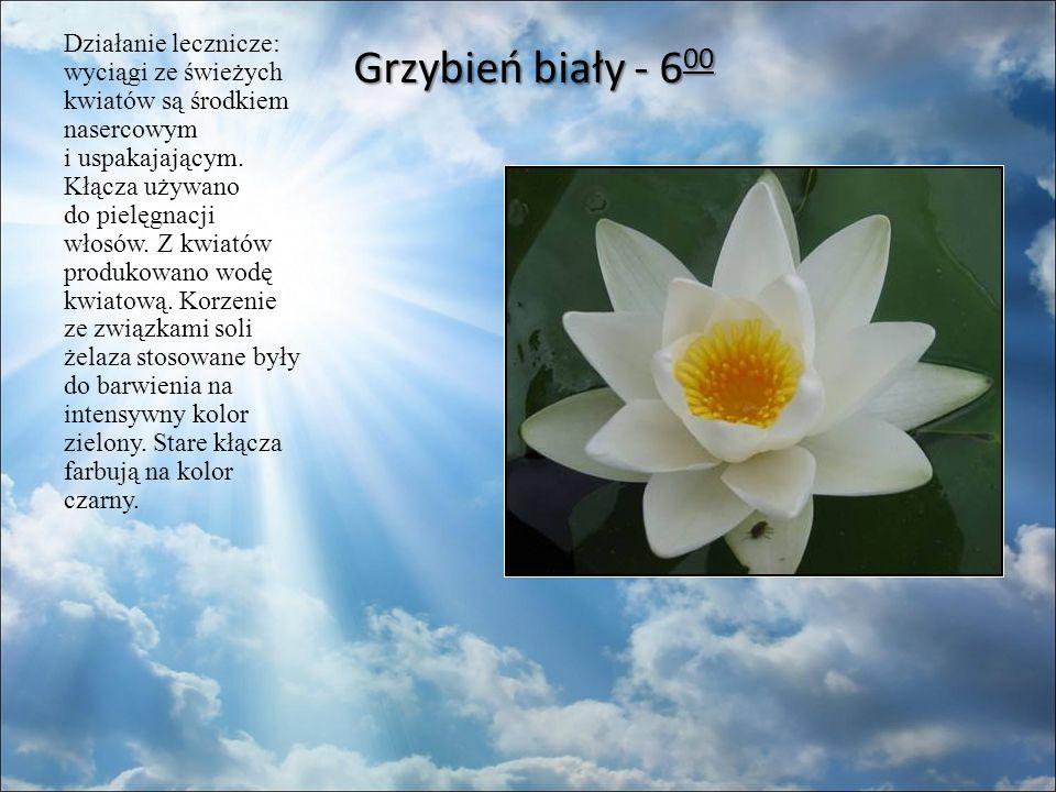 Grzybień biały - 6 00 Grzybień biały - 6 00 Działanie lecznicze: wyciągi ze świeżych kwiatów są środkiem nasercowym i uspakajającym.