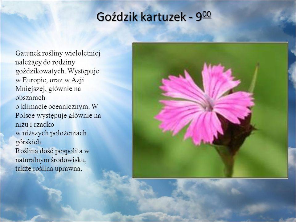 Goździk kartuzek - 9 00 Goździk kartuzek - 9 00 Gatunek rośliny wieloletniej należący do rodziny goździkowatych.