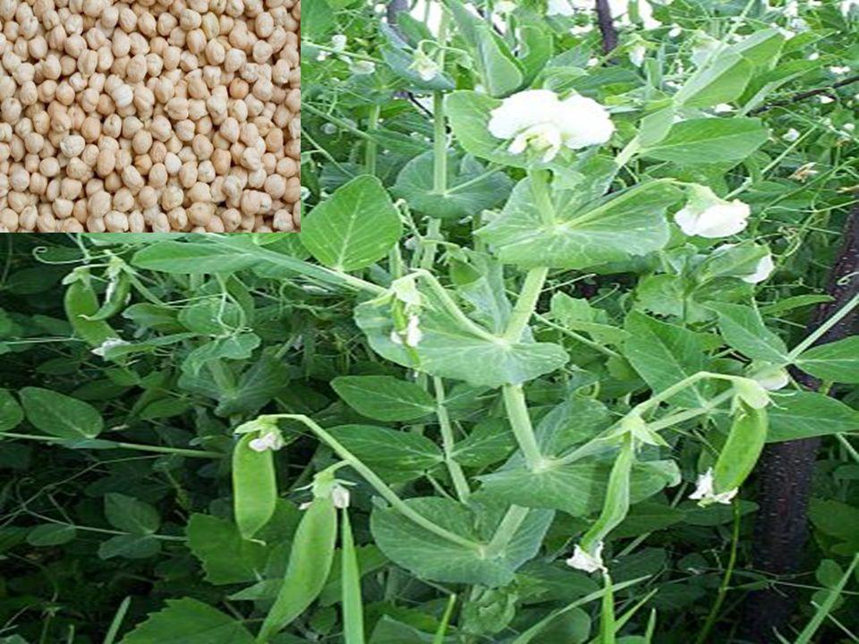 Substancje antyżywieniowe Hemaglutyniny, zwane także lektynami występują w nasionach grochu i bobiku.