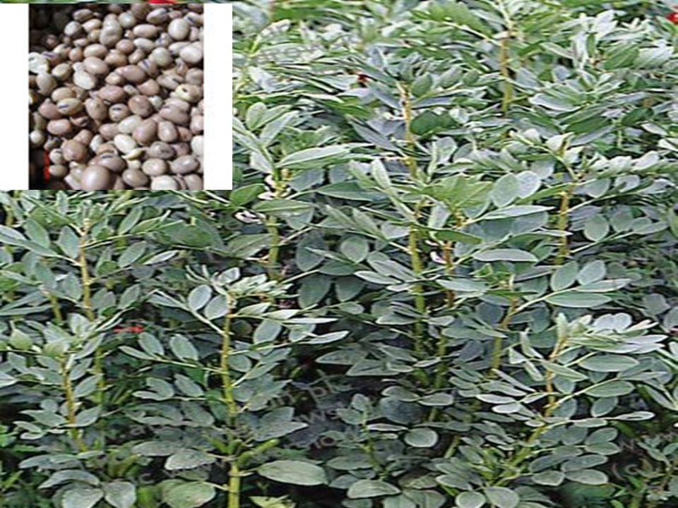 Łubiny (Lupinus ssp.