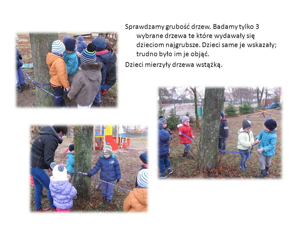 Sprawdzamy grubość drzew. Badamy tylko 3 wybrane drzewa te które wydawały się dzieciom najgrubsze.