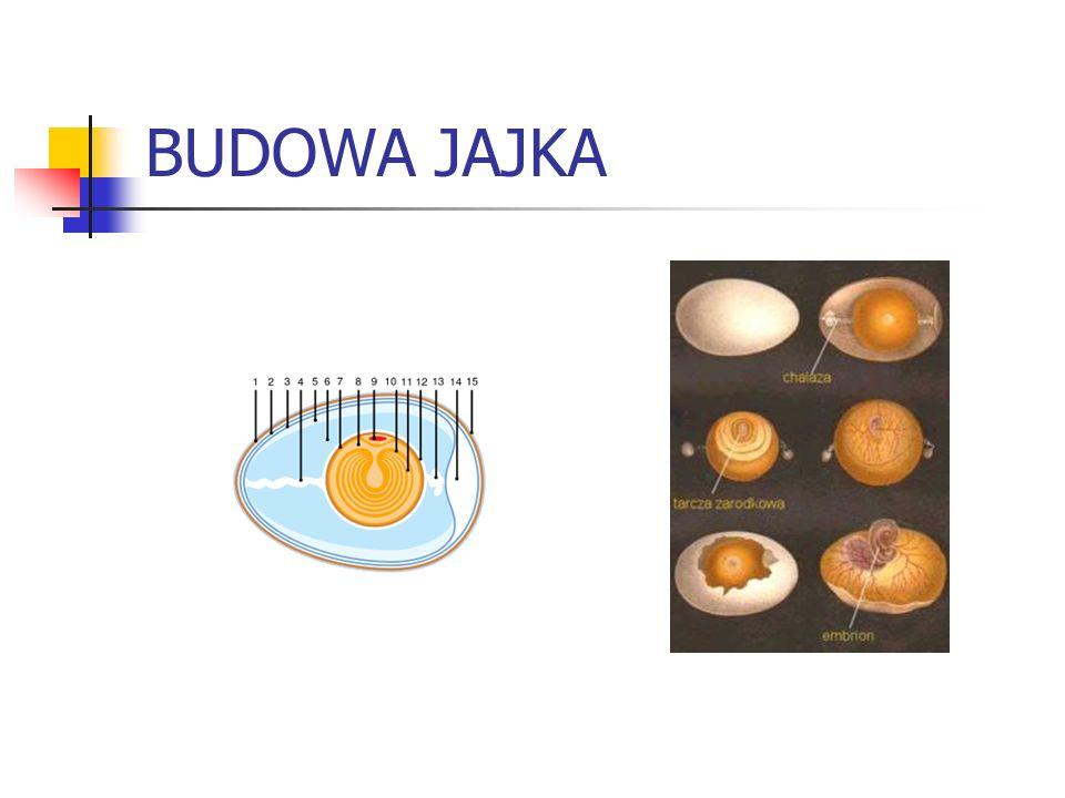 JAJKO- SYMBOL ŚWIATA Jajko - symbol świata Jajko - symbol świata Starożytni filozofowie uważali, że jajko stanowi doskonały symbol świata: Starożytni filozofowie uważali, że jajko stanowi doskonały symbol świata: · skorupka to ziemia, · skorupka to ziemia, · białko to woda, · białko to woda, · żółtko to ogień, · żółtko to ogień, · w zaokrąglonym końcu pod skorupką - powietrze.