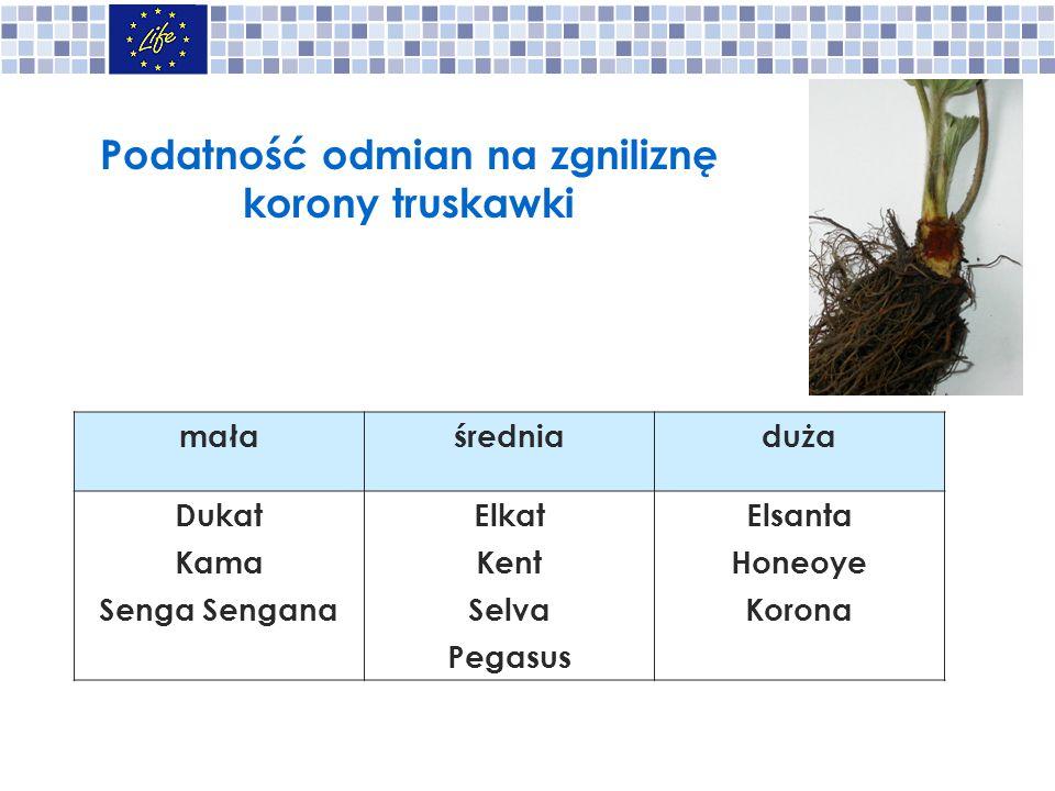 Podatność odmian na zgniliznę korony truskawki małaśredniaduża Dukat Kama Senga Sengana Elkat Kent Selva Pegasus Elsanta Honeoye Korona