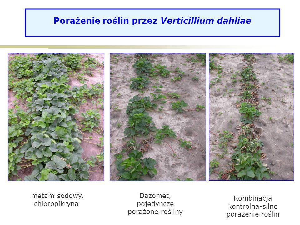 Porażenie roślin przez Verticillium dahliae metam sodowy, chloropikryna Dazomet, pojedyncze porażone rośliny Kombinacja kontrolna-silne porażenie roślin