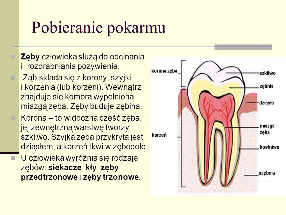 Pobieranie pokarmu Zęby człowieka służą do odcinania i rozdrabniania pożywienia.