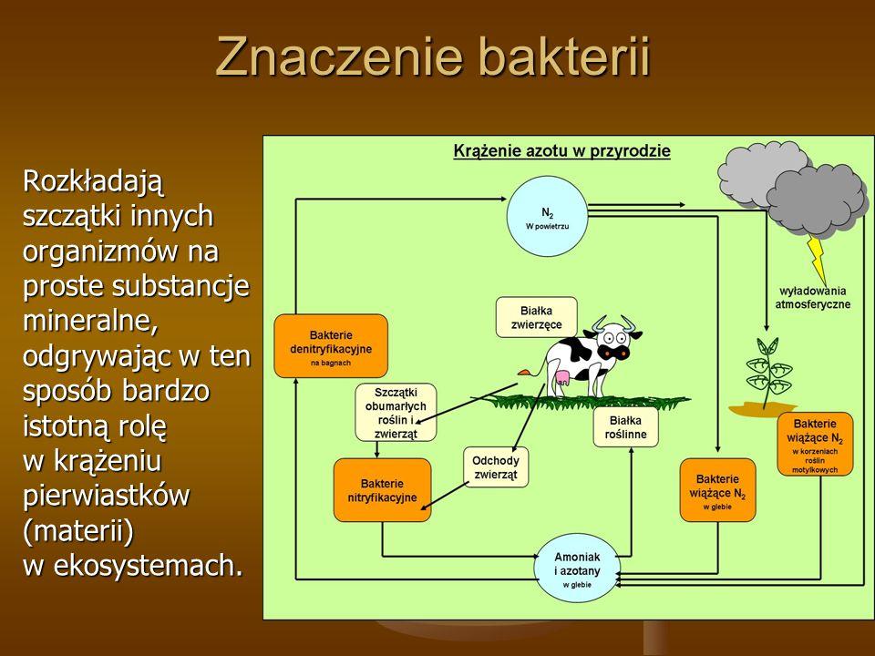 Znaczenie bakterii Rozkładają szczątki innych organizmów na proste substancje mineralne, odgrywając w ten sposób bardzo istotną rolę w krążeniu pierwiastków (materii) w ekosystemach.