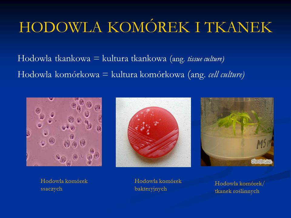 OWADZIE LINIE KOMÓRKOWE W badaniach genetycznych, molekularnych i biochemicznych używa się głównie hodowli linii komórkowych owadów.