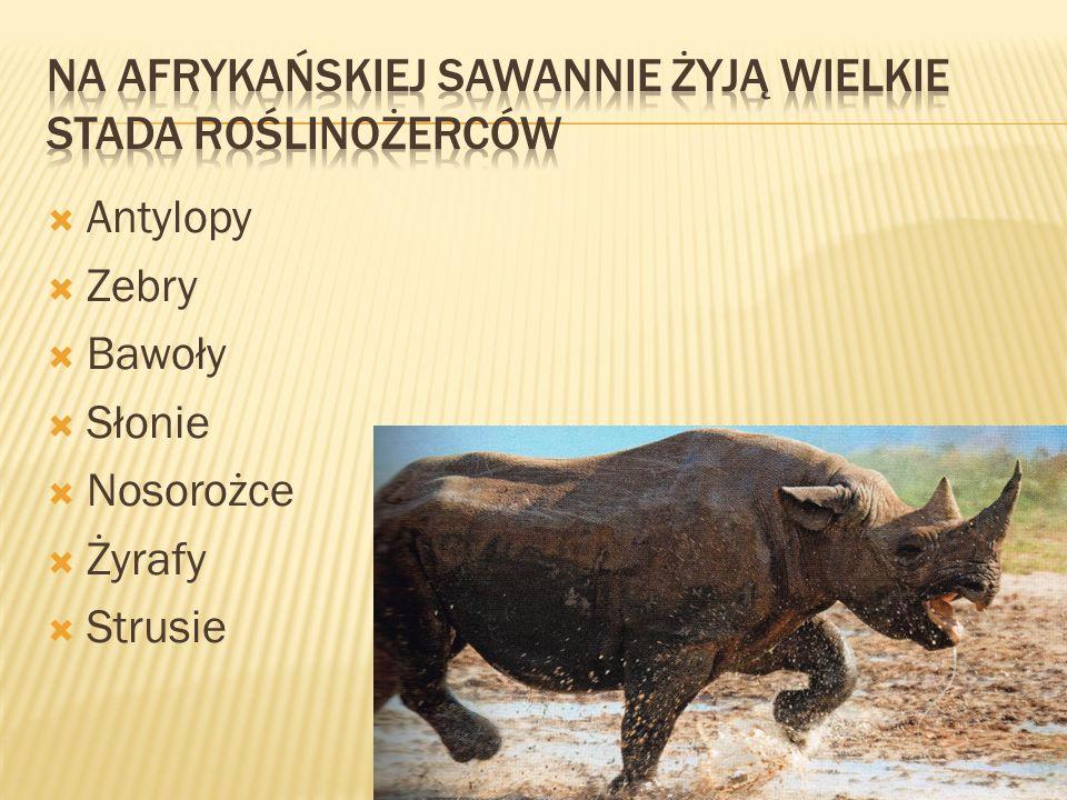  Antylopy  Zebry  Bawoły  Słonie  Nosorożce  Żyrafy  Strusie