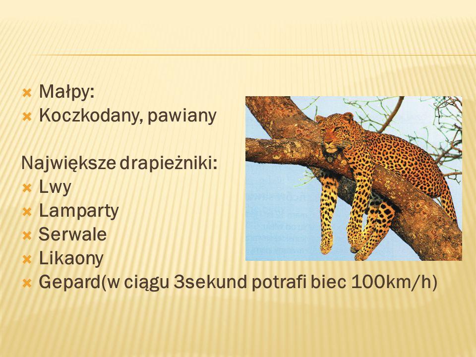  Małpy:  Koczkodany, pawiany Największe drapieżniki:  Lwy  Lamparty  Serwale  Likaony  Gepard(w ciągu 3sekund potrafi biec 100km/h)