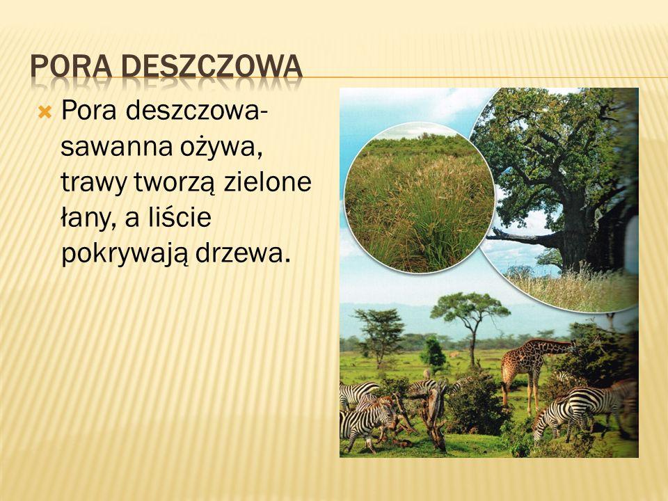  Pora deszczowa- sawanna ożywa, trawy tworzą zielone łany, a liście pokrywają drzewa.