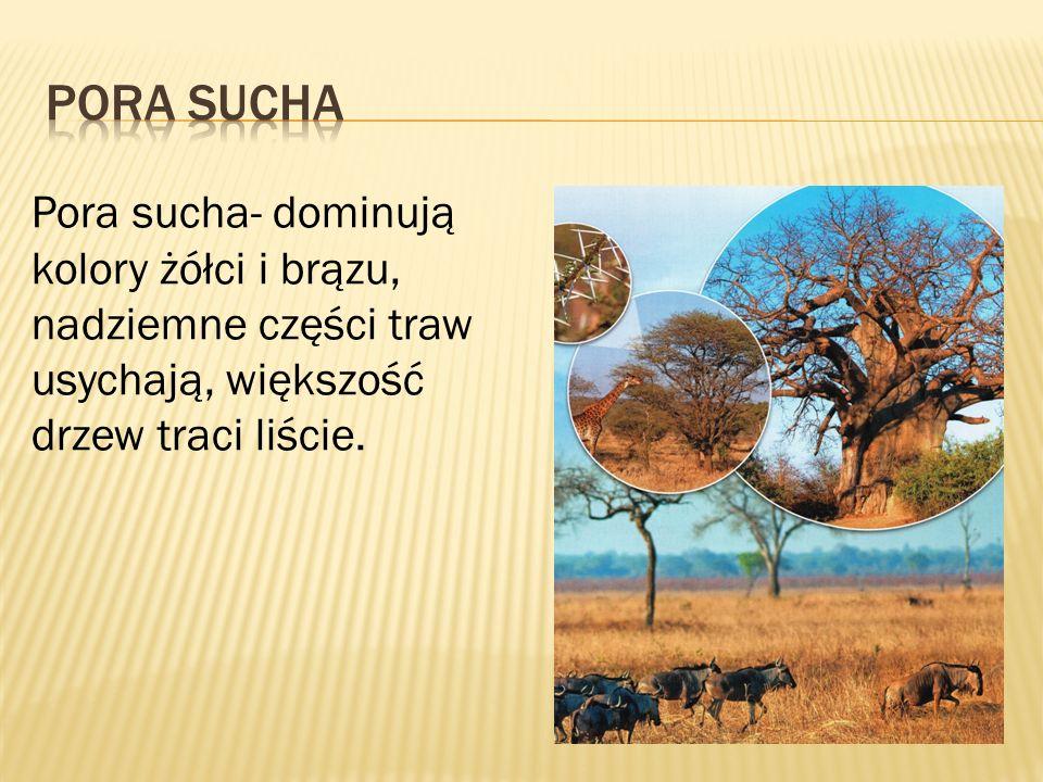 Pora sucha- dominują kolory żółci i brązu, nadziemne części traw usychają, większość drzew traci liście.