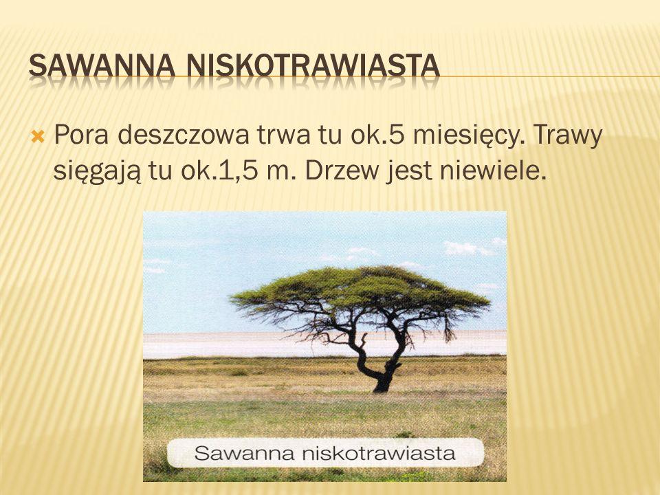  Pora deszczowa trwa tu ok.5 miesięcy. Trawy sięgają tu ok.1,5 m. Drzew jest niewiele.
