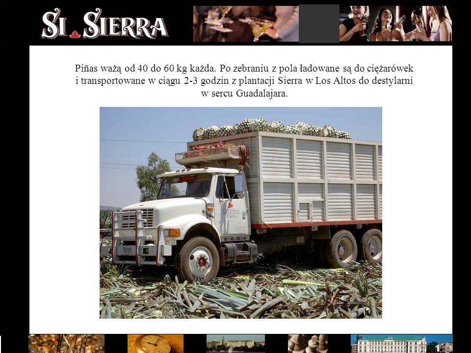 Piñas ważą od 40 do 60 kg każda. Po zebraniu z pola ładowane są do ciężarówek i transportowane w ciągu 2-3 godzin z plantacji Sierra w Los Altos do de