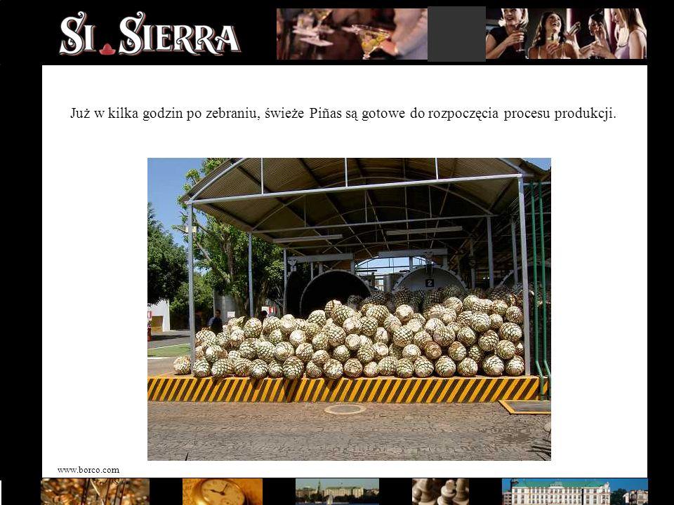 www.borco.com Już w kilka godzin po zebraniu, świeże Piñas są gotowe do rozpoczęcia procesu produkcji.