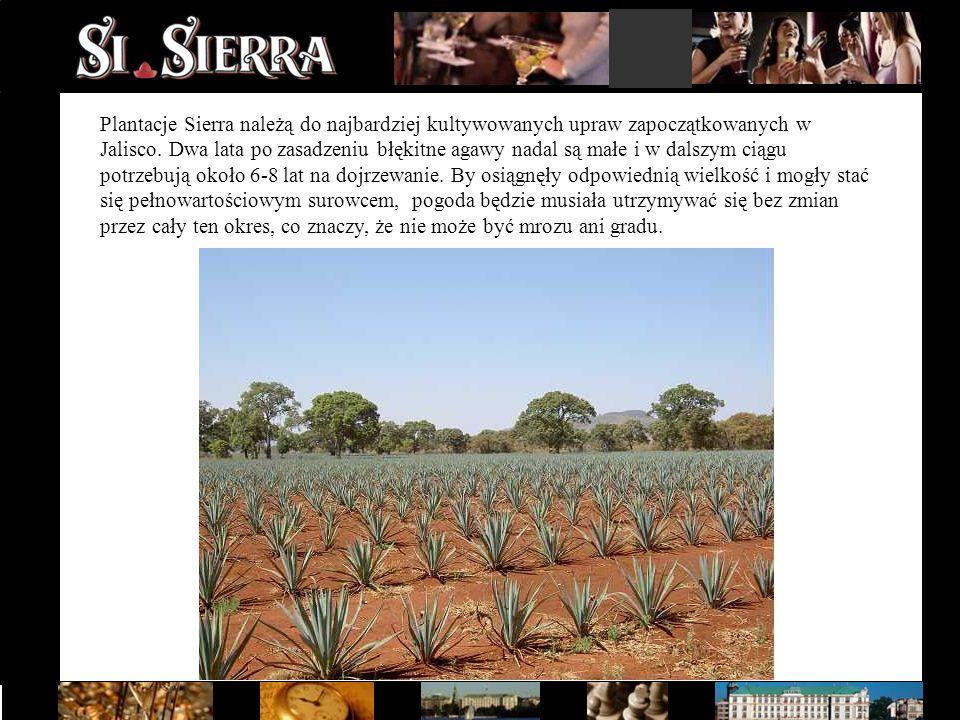 Plantacje Sierra należą do najbardziej kultywowanych upraw zapoczątkowanych w Jalisco. Dwa lata po zasadzeniu błękitne agawy nadal są małe i w dalszym