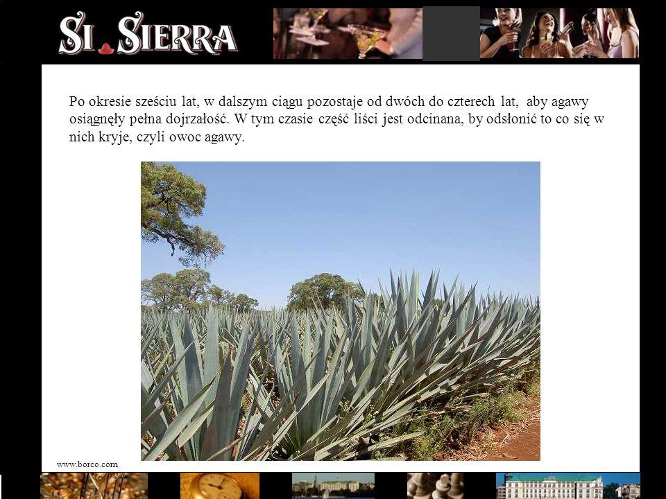 www.borco.com Po okresie sześciu lat, w dalszym ciągu pozostaje od dwóch do czterech lat, aby agawy osiągnęły pełna dojrzałość. W tym czasie część liś