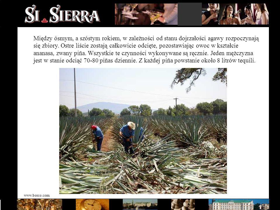 www.borco.com Między ósmym, a szóstym rokiem, w zależności od stanu dojrzałości agawy rozpoczynają się zbiory. Ostre liście zostają całkowicie odcięte
