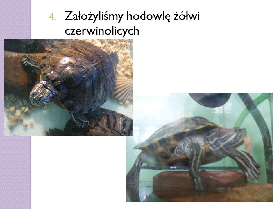 4. Założyliśmy hodowlę żółwi czerwinolicych