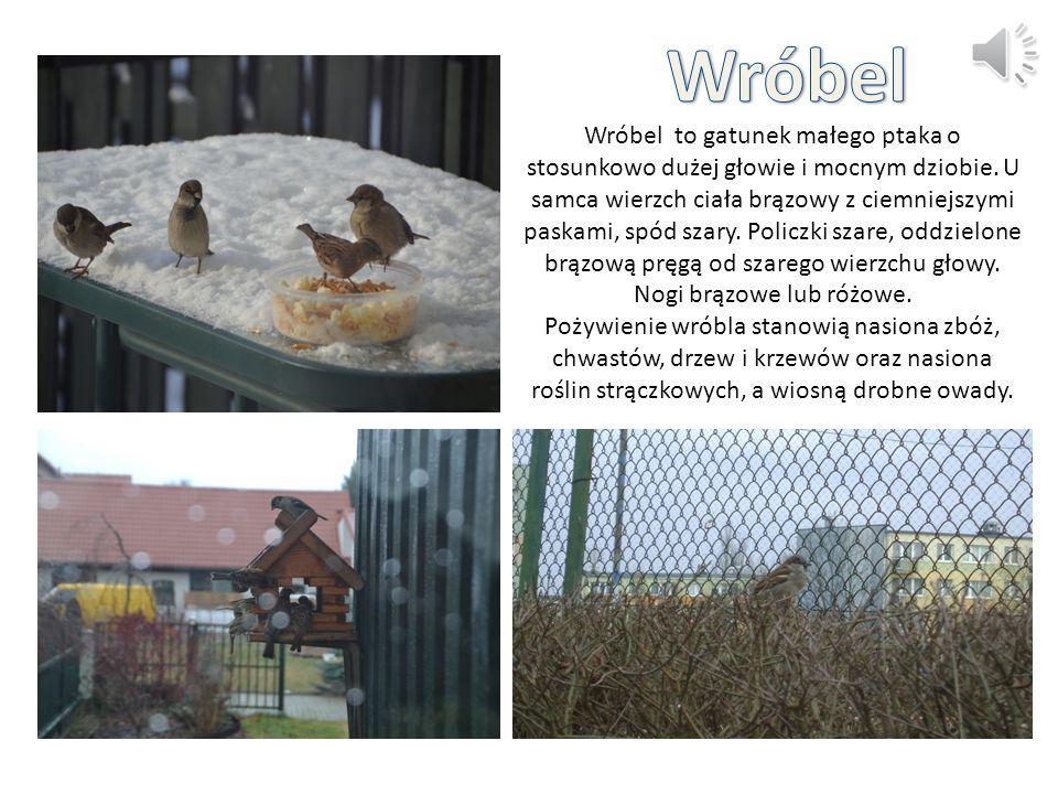 Wróbel to gatunek małego ptaka o stosunkowo dużej głowie i mocnym dziobie.