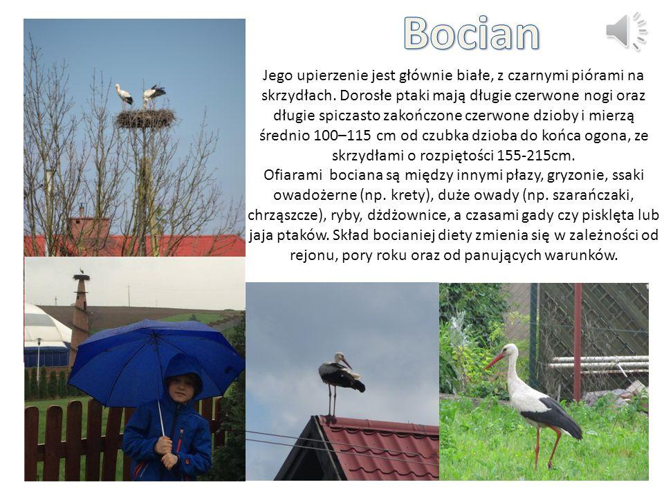 Gołąb to jeden z najbardziej znanych ptaków.