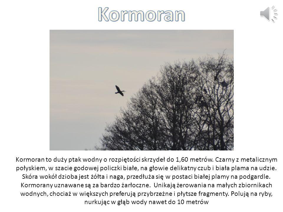 Kormoran to duży ptak wodny o rozpiętości skrzydeł do 1,60 metrów. Czarny z metalicznym połyskiem, w szacie godowej policzki białe, na głowie delikatn