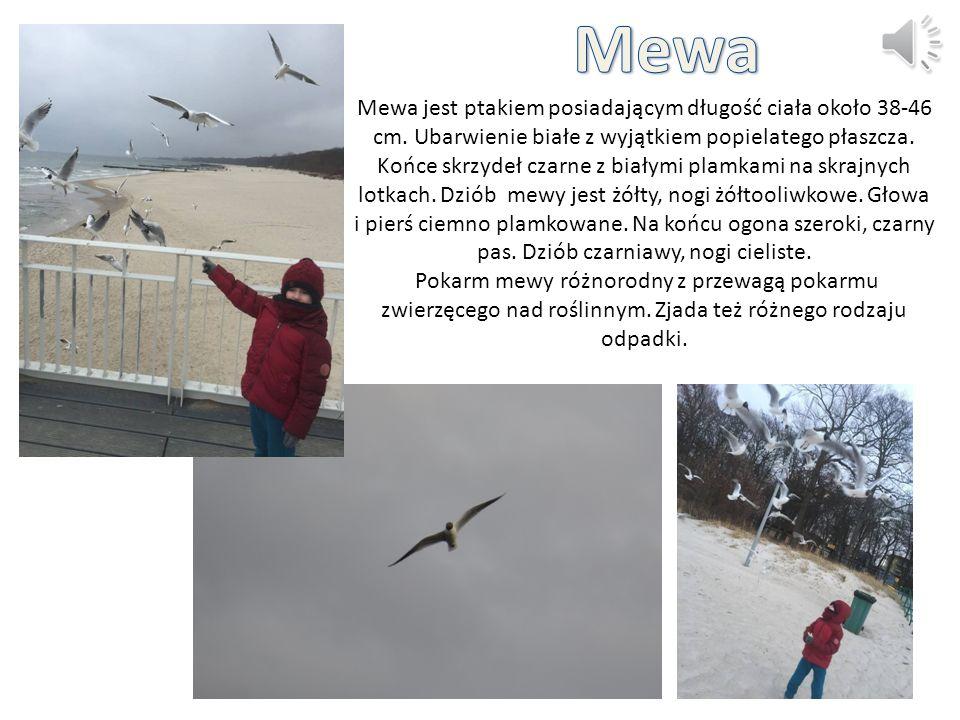 Mewa jest ptakiem posiadającym długość ciała około 38-46 cm. Ubarwienie białe z wyjątkiem popielatego płaszcza. Końce skrzydeł czarne z białymi plamka