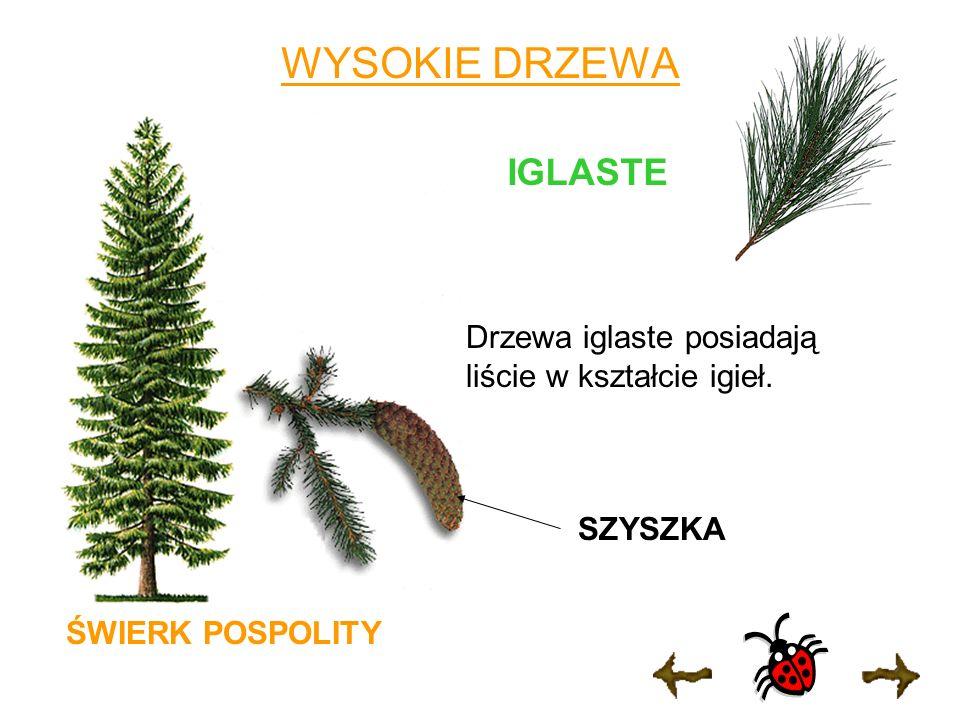 WYSOKIE DRZEWA IGLASTE ŚWIERK POSPOLITY Drzewa iglaste posiadają liście w kształcie igieł. SZYSZKA