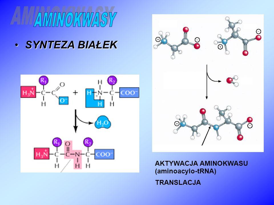 SYNTEZA BIAŁEKSYNTEZA BIAŁEK AKTYWACJA AMINOKWASU (aminoacylo-tRNA) TRANSLACJA
