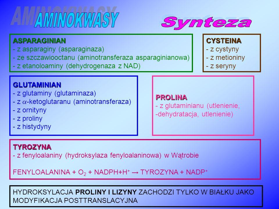 ASPARAGINIAN - z asparaginy (asparaginaza) - ze szczawiooctanu (aminotransferaza asparaginianowa) - z etanoloaminy (dehydrogenaza z NAD) GLUTAMINIAN - z glutaminy (glutaminaza) - z  -ketoglutaranu (aminotransferaza) - z ornityny - z proliny - z histydynyPROLINA - z glutaminianu (utlenienie, -dehydratacja, utlenienie) CYSTEINA - z cystyny - z metioniny - z seryny TYROZYNA - z fenyloalaniny (hydroksylaza fenyloalaninowa) w Wątrobie FENYLOALANINA + O 2 + NADPH+H + → TYROZYNA + NADP + HYDROKSYLACJA PROLINY I LIZYNY ZACHODZI TYLKO W BIAŁKU JAKO MODYFIKACJA POSTTRANSLACYJNA