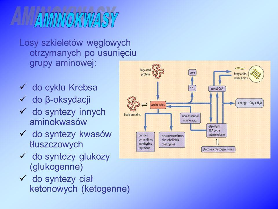 Losy szkieletów węglowych otrzymanych po usunięciu grupy aminowej: do cyklu Krebsa do β-oksydacji do syntezy innych aminokwasów do syntezy kwasów tłuszczowych do syntezy glukozy (glukogenne) do syntezy ciał ketonowych (ketogenne)