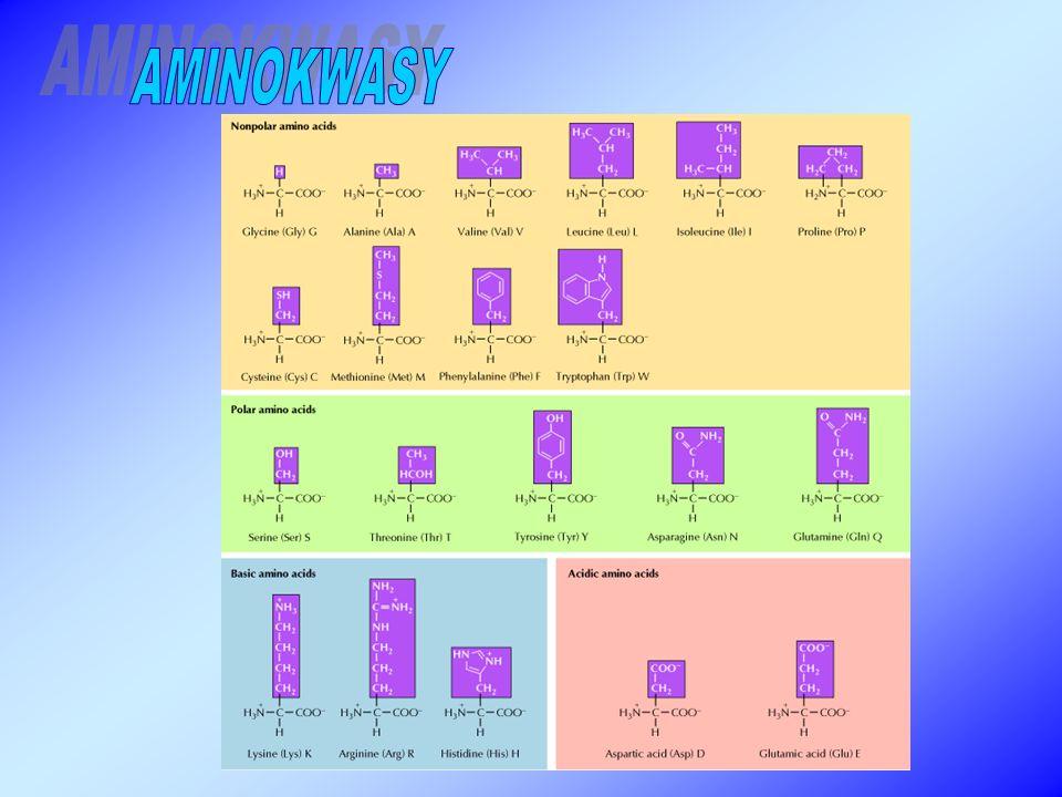 AMINOKWASY MOŻEMY PODZIELIĆ ZE WZGLĘDU NA: 1.możliwość syntezy w ustroju (niezbędne lub nie niezbędne) 2.produkt powstały w wyniku katabolizmu (glukogenne, ketogenne, gluko- i ketogenne) 3.budowę i właściwości (alifatyczne, kwasowe, zasadowe, z pierścieniem aromatycznym, zawierające siarkę, zawierające grupę –OH) 4.występowanie (białkowe, niebiałkowe)