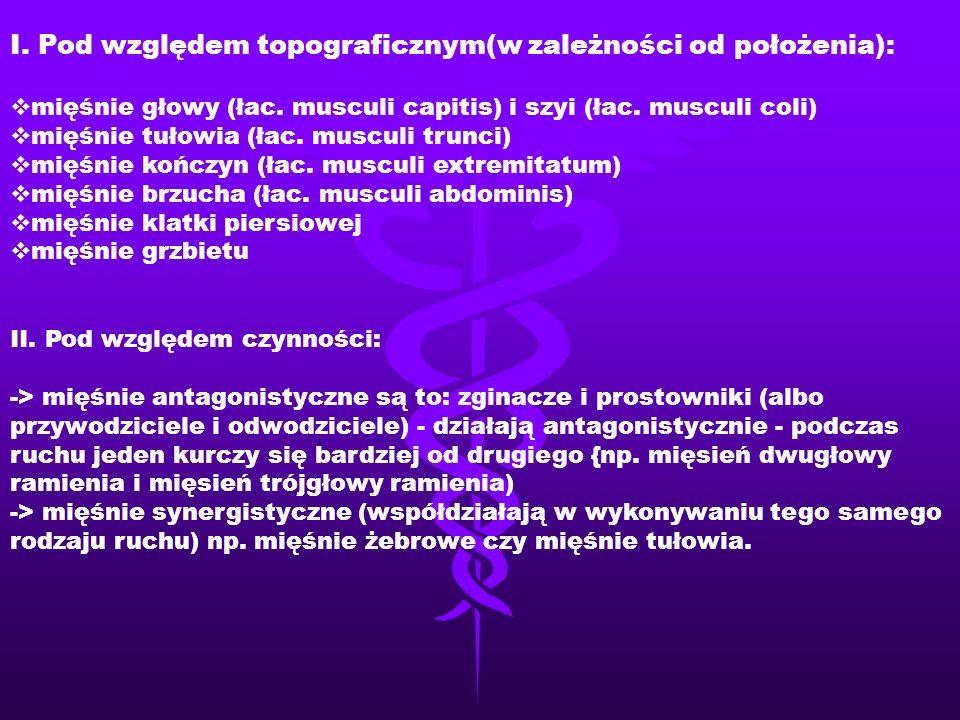 I. Pod względem topograficznym(w zależności od położenia):  mięśnie głowy (łac. musculi capitis) i szyi (łac. musculi coli)  mięśnie tułowia (łac. m