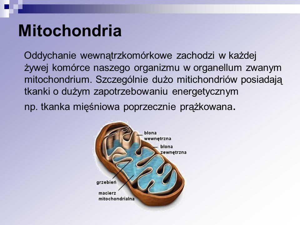 Mitochondria Oddychanie wewnątrzkomórkowe zachodzi w każdej żywej komórce naszego organizmu w organellum zwanym mitochondrium. Szczególnie dużo mitich