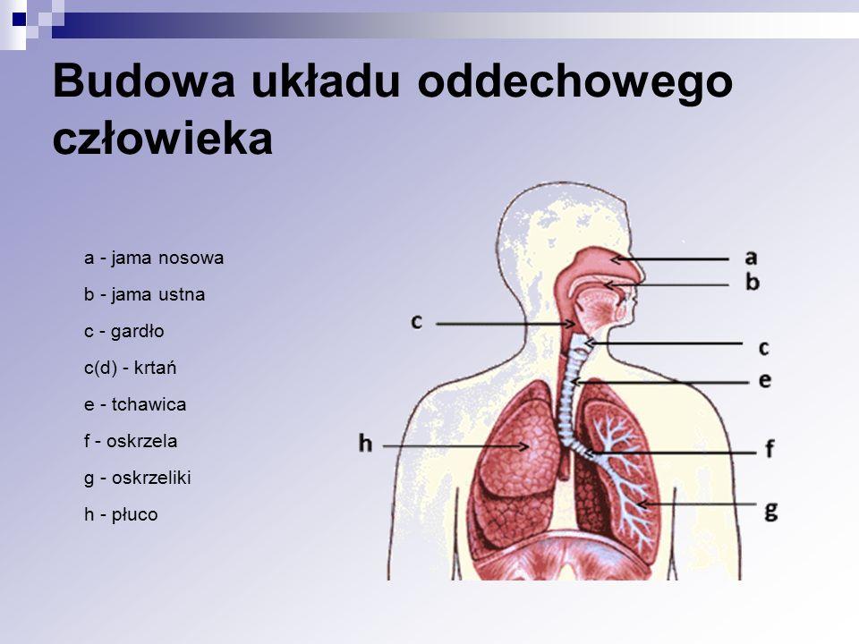 Budowa układu oddechowego człowieka a - jama nosowa b - jama ustna c - gardło c(d) - krtań e - tchawica f - oskrzela g - oskrzeliki h - płuco