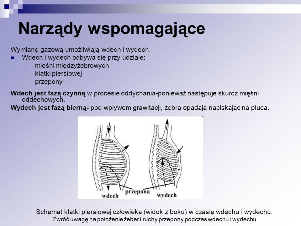Wymianę gazową umożliwiają wdech i wydech. Wdech i wydech odbywa się przy udziale: - mięśni międzyżebrowych - klatki piersiowej - przepony Wdech jest