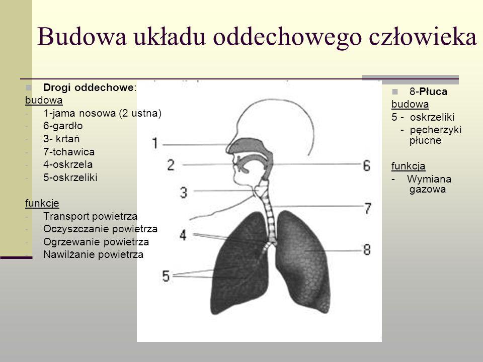 Budowa układu oddechowego człowieka Drogi oddechowe: budowa - 1-jama nosowa (2 ustna) - 6-gardło - 3- krtań - 7-tchawica - 4-oskrzela - 5-oskrzeliki f