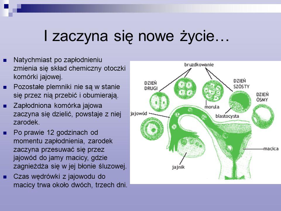 I zaczyna się nowe życie… Natychmiast po zapłodnieniu zmienia się skład chemiczny otoczki komórki jajowej.