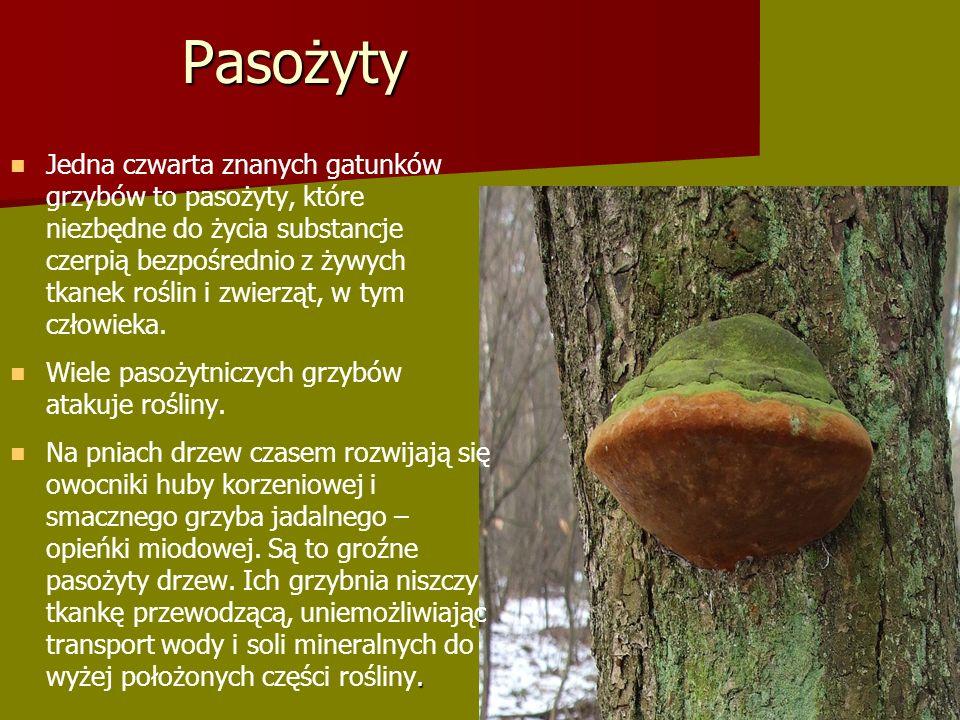 Pasożyty Jedna czwarta znanych gatunków grzybów to pasożyty, które niezbędne do życia substancje czerpią bezpośrednio z żywych tkanek roślin i zwierząt, w tym człowieka.