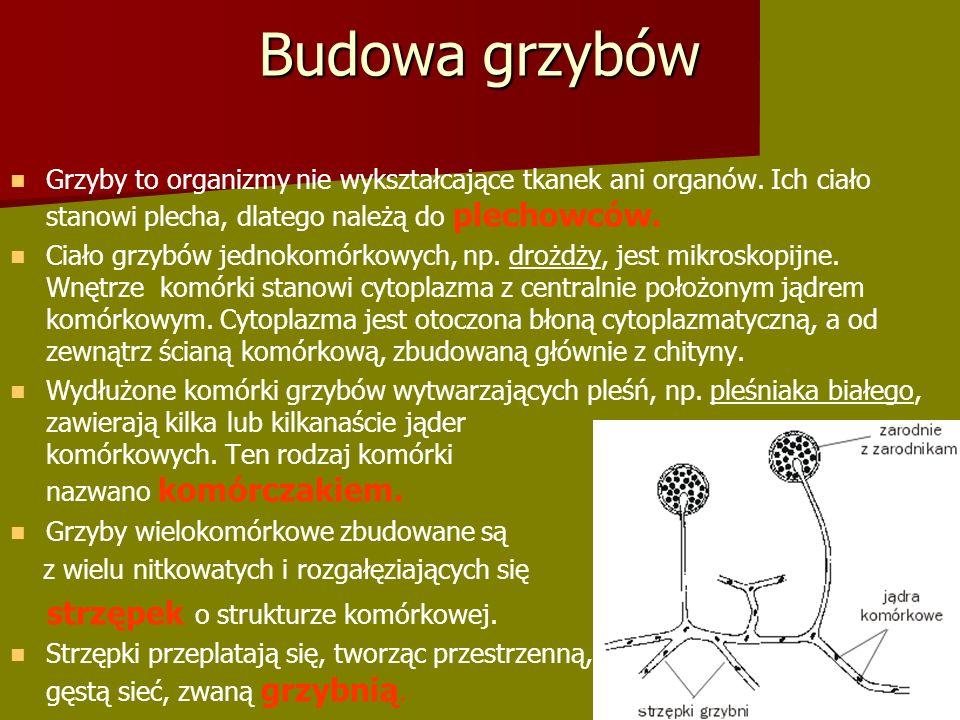 Budowa grzybów Grzyby to organizmy nie wykształcające tkanek ani organów.