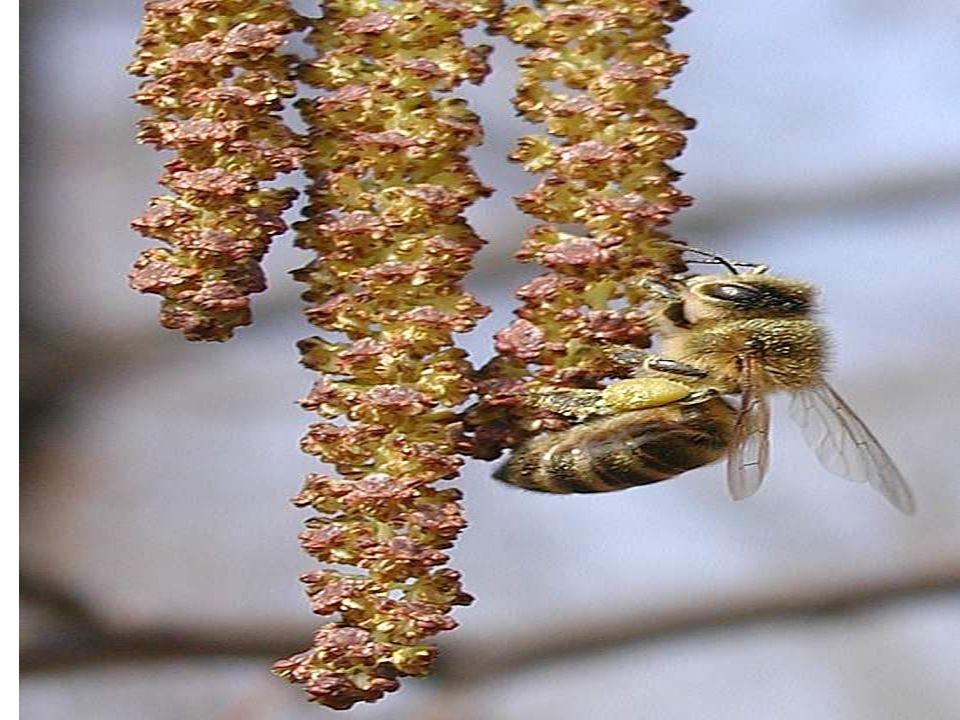 Zarówno w sprzedaży bezpośredniej jak i hurtowej podniesienie dochodowości z rodziny pszczelej możemy uzyskać poprzez pozyskiwanie miodów odmianowych, których cena rynkowa, detaliczna jak i hurtowa jest wyższa.