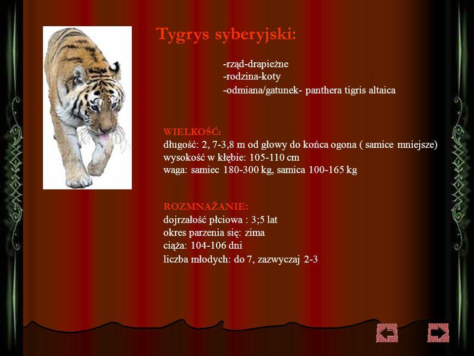 -rząd-drapieżne -rodzina-koty -odmiana/gatunek- panthera tigris altaica Tygrys syberyjski: WIELKOŚĆ : długość: 2, 7-3,8 m od głowy do końca ogona ( samice mniejsze) wysokość w kłębie: 105-110 cm waga: samiec 180-300 kg, samica 100-165 kg ROZMNAŻANIE : dojrzałość płciowa : 3;5 lat okres parzenia się: zima ciąża: 104-106 dni liczba młodych: do 7, zazwyczaj 2-3