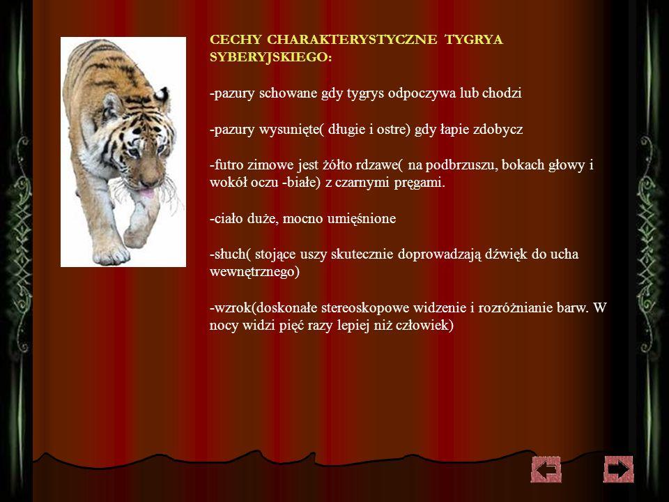 CECHY CHARAKTERYSTYCZNE TYGRYA SYBERYJSKIEGO: -pazury schowane gdy tygrys odpoczywa lub chodzi -pazury wysunięte( długie i ostre) gdy łapie zdobycz -futro zimowe jest żółto rdzawe( na podbrzuszu, bokach głowy i wokół oczu -białe) z czarnymi pręgami.