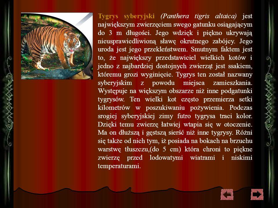 Tygrys syberyjski (Panthera tigris altaica) jest największym zwierzęciem swego gatunku osiągającym do 3 m długości.