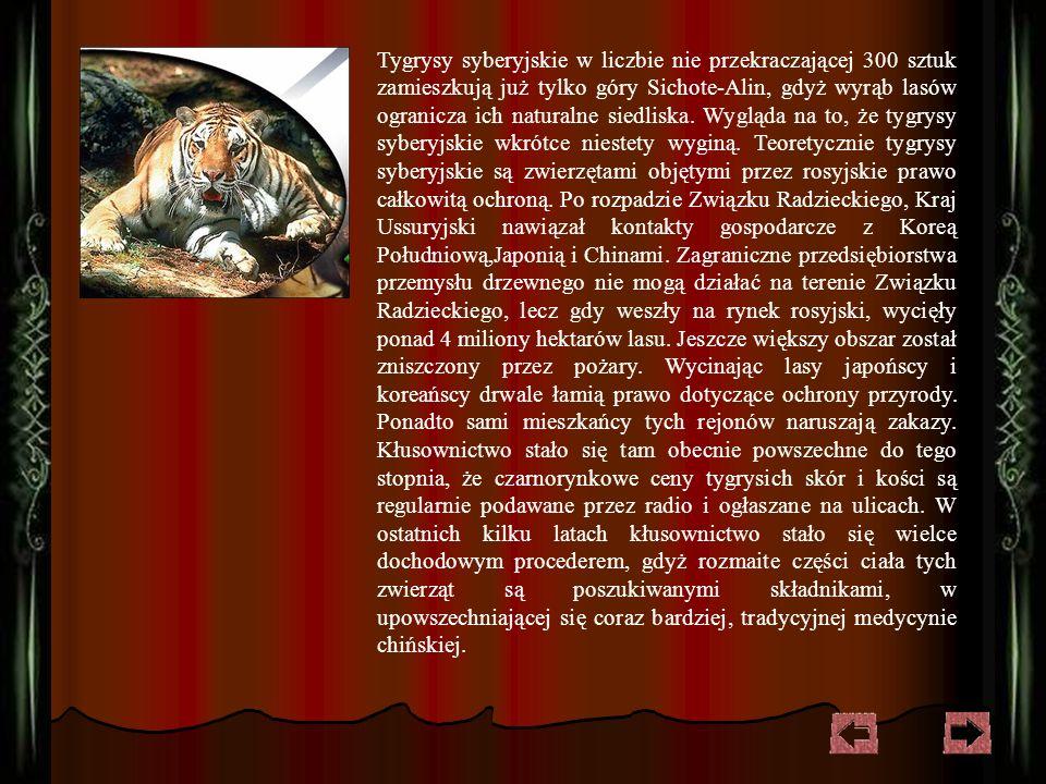 Przez wiele wieków książęta azjatyccy urządzali efektowne polowania na tygrysa, uważając to za królewską rozrywkę.