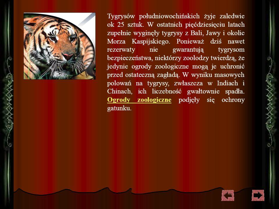 Tygrysy syberyjskie w liczbie nie przekraczającej 300 sztuk zamieszkują już tylko góry Sichote-Alin, gdyż wyrąb lasów ogranicza ich naturalne siedliska.
