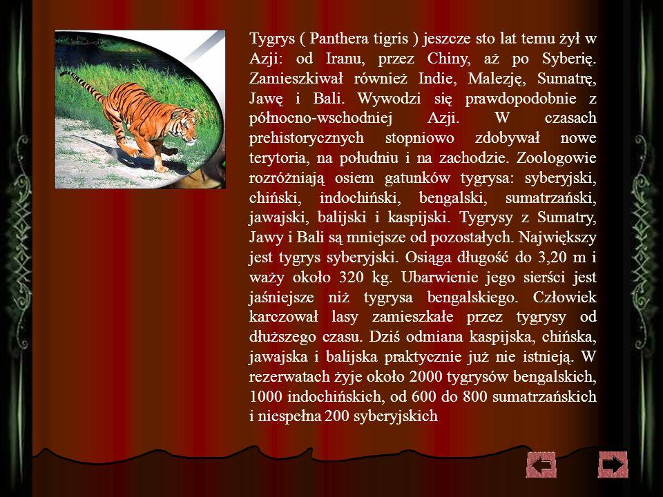 Tygrys ( Panthera tigris ) jeszcze sto lat temu żył w Azji: od Iranu, przez Chiny, aż po Syberię.